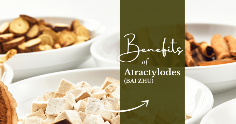atractylodes bai zhu benefits